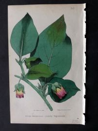 Hogg & Johnson 1866 Hand Col Botanical Print. Deadly Nightshade 212
